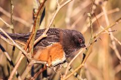 Red eye bird in the Wild Nature, Spotted Towhee red eye. stock photo