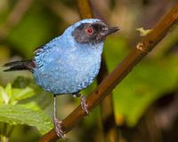 Bright blue masked flowerpiercer royalty free stock photography