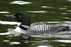 Red Eye'd Loon. This red eye'd loon is swimming peacefully in a lake.  Note the reflection Stock Image