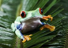 Red eye frog Royalty Free Stock Image