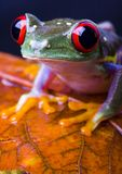 Red eye frog Royalty Free Stock Photo