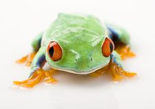 Red eye frog Royalty Free Stock Image