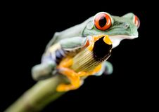Red eye frog Royalty Free Stock Photography