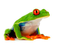 Free Red Eye Frog Royalty Free Stock Photography - 51745817