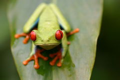 Red eye frog. In front Royalty Free Stock Photo