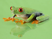 Red-eye frog Agalychnis callidryas Royalty Free Stock Photos