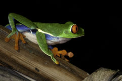 Red Eye Frog Stock Photography
