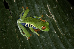 Red Eye Frog Royalty Free Stock Images