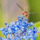Red Eye Hoverfly Royalty Free Stock Photos