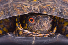 Red eye of painted box turtle. The face of a painted box turtle on white background Royalty Free Stock Photo