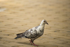 Red Eye Pigeon Walking on the Ground Stock Image