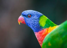 Red Eye of a Rainbow Lorikeet Royalty Free Stock Images