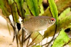 Red eye tetra Moenkhausia sanctaefilomenae Monk Tetra aquarium fish. Fish Royalty Free Stock Photos