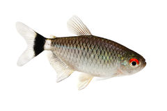 Red eye tetra Moenkhausia sanctaefilomenae Monk Tetra aquarium fish Royalty Free Stock Photos