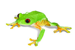 Red eye tree frog Royalty Free Stock Photography