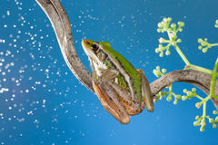 Red eye tree frog Stock Image