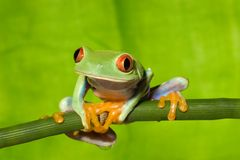 Red Eye Tree Frog on Branch 2. Red Eye Tree frog on a green branch in the rain forrest Royalty Free Stock Photos