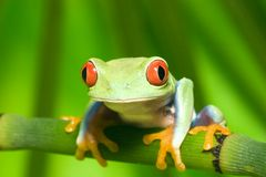 Red Eye Tree Frog on Branch 3 Stock Photo