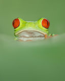 Red eye tree frog from costa rica with great red eyes, peaking o Stock Images