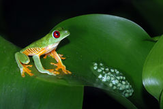 Red eye tree frog with eggs on a leaf. Stock Photo