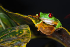 Red eye tree frog on a leaf. Stock Photos