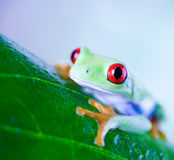 Red eye tree frog on leaf on colorful background Royalty Free Stock Photography
