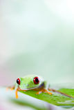 Red eye tree frog on leaf on colorful background Stock Images