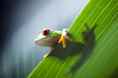 Red eye tree frog on leaf Stock Photo