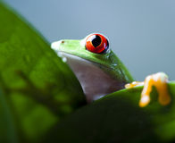 Red eye tree frog on leaf Royalty Free Stock Images