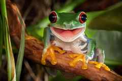 Red eye tree frog smile. Red-eyed tree frog sitting on a branch and smiling stock photography