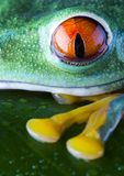 Red eyed. Frog - small animal with smooth skin and long legs that are used for jumping. Frogs live in or near water. The Agalychnis callidryas, commonly know as Royalty Free Stock Photography