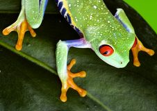 Red eyed. Frog - small animal with smooth skin and long legs that are used for jumping. Frogs live in or near water. The Agalychnis callidryas, commonly know as Stock Images