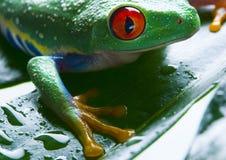Red eyed. Abstraction, agalychnis callidryas, amphibia, amphibians, animal, animals, anura, big eye, black, blue, bulging, colour, colours, colours tints Stock Photo