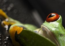 Red eyed. Frog - small animal with smooth skin and long legs that are used for jumping. Frogs live in or near water. The Agalychnis callidryas, commonly know as Stock Photo
