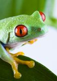 Red eyed. Frog - small animal with smooth skin and long legs that are used for jumping. Frogs live in or near water. The Agalychnis callidryas, commonly know as Stock Photography