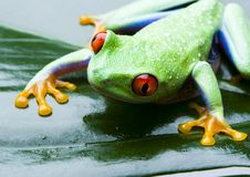 Red eyed. Frog - small animal with smooth skin and long legs that are used for jumping. Frogs live in or near water. The Agalychnis callidryas, commonly know as Stock Photos
