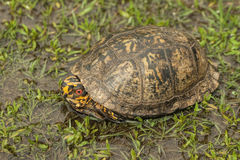 Red Eyed Alabama Box Turtle 2 - Terrapene carolina Royalty Free Stock Images