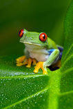 Red-Eyed Amazon Tree Frog (Agalychnis Callidryas) stock images