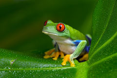 Red-Eyed Amazon Tree Frog (Agalychnis Callidryas). Red-Eyed Amazon Tree Frog on Large Palm Leaf Stock Photos