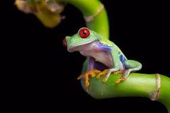 Red-Eyed Amazon Tree Frog (Agalychnis Callidryas) royalty free stock photography