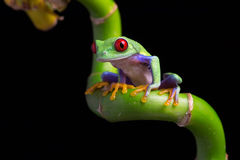 Red-Eyed Amazon Tree Frog (Agalychnis Callidryas). Red-Eyed Amazon Tree Frog on twisted Bamboo royalty free stock images