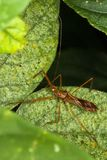 Red eyed assassin bug lying in ambush. Stock Photo