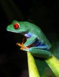 Red-Eyed Baum-Frosch Lizenzfreies Stockbild