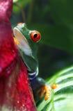 Red-Eyed Baum-Frosch Stockfotografie