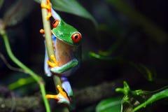 Red-Eyed Baum-Frosch Stockbilder