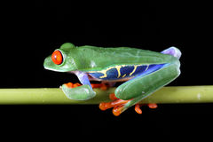 Red-Eyed Baum-Frosch Stockfotos