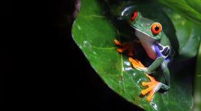 Red-Eyed Baum-Frosch Stockfoto