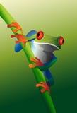 Red-Eyed Baum-Frosch auf Rebe Stockfotos