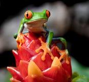 Red-eyed Baumfrosch stockbilder