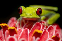Red-eyed Baumfrosch lizenzfreie stockbilder